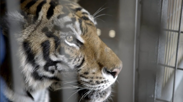 Tasha the tiger