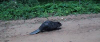 Beaver Attack