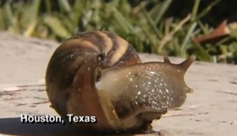 deadly snail