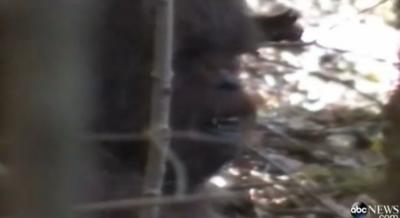 bigfoot footage