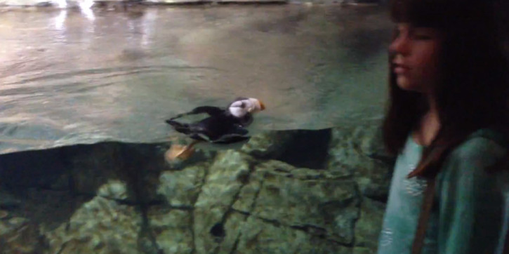Horned Puffin Makes Friends and Chases Girl at Aquarium